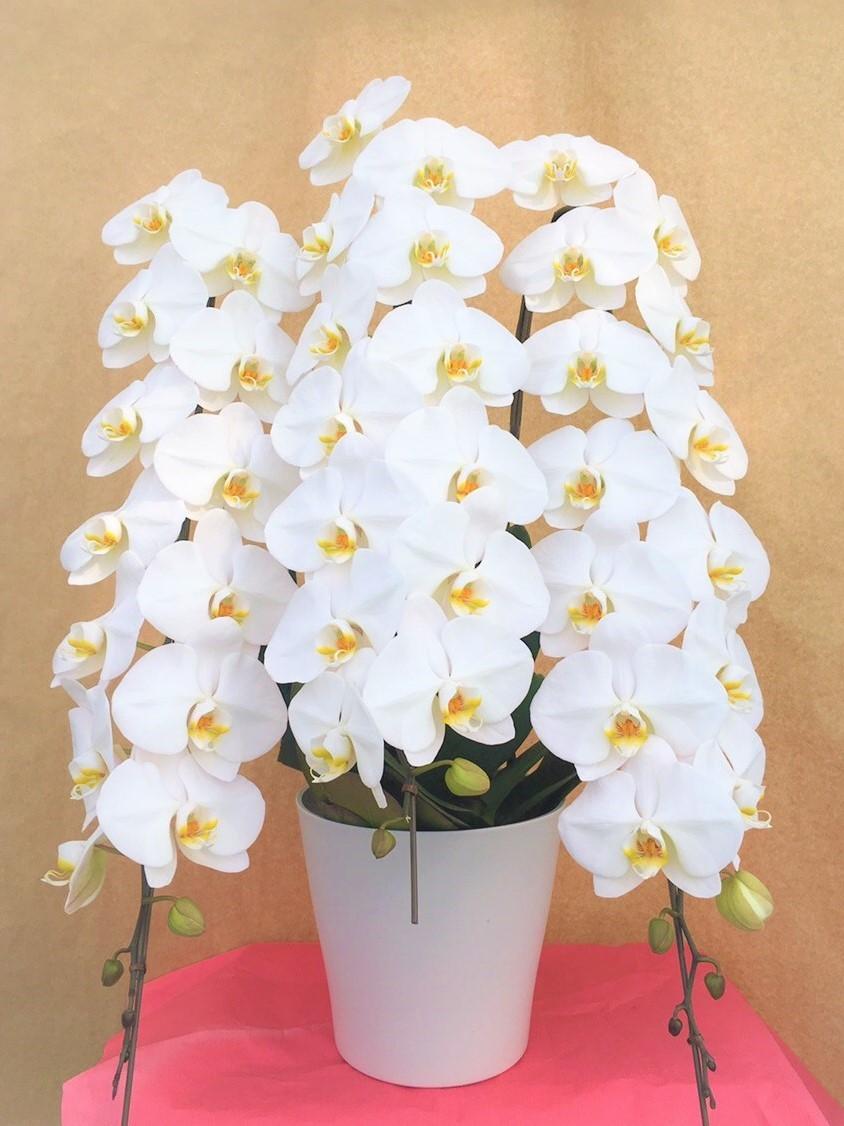 胡蝶蘭,格安,激安,お手頃価格,ビジネス,お祝い,花,贈り物